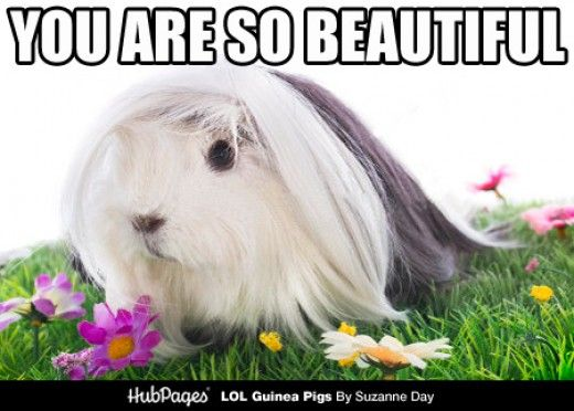 Peruvian guinea pig meme. Come visit my article for more memes!