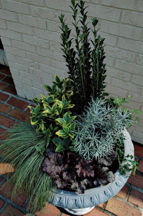Creative Conifer Containers | Carolina Gardener Web Articles. One-gallon containers of Ilex crenata 'Sky Pencil', Euonymus 'Blondy' and Heuchera 'Plum Pudding' are combined with Helichrysum italicum 'Icicles' and Festuca glauca (sheep fescue) for an evergreen pot that lasts year round.