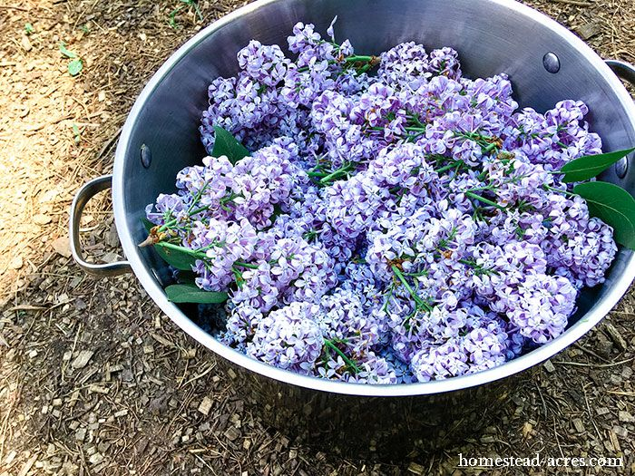 How To Make Lilac Jelly Fresh Lilacs Jelly Lilac