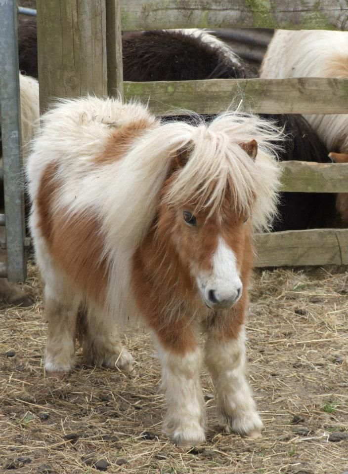 Miniature Shetland Pony - I think my family will need one....