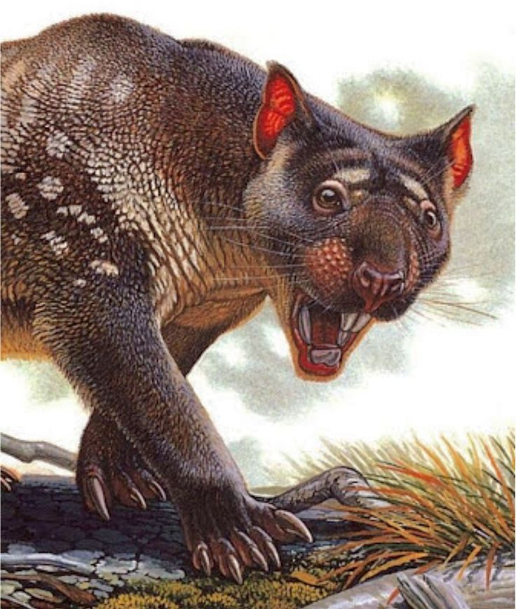 The marsupial lion (Thylacoleo carnifex) is an extinct ...