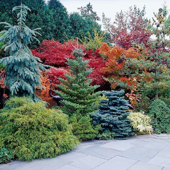 blue spruce evergreen and bright yellow on pinterest