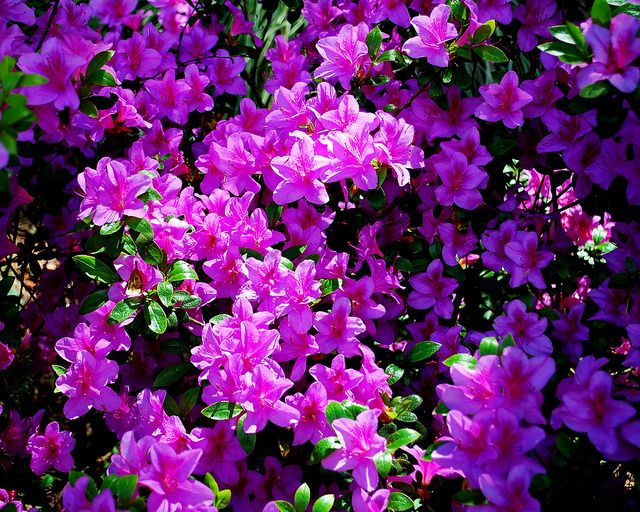 Flowering Bush with Purple Flowers | Lavender Azeala Blooms in the Sun | Flickr - Photo Sharing!