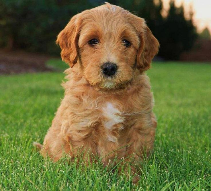 Apricot labradoodle puppy lincoln honden