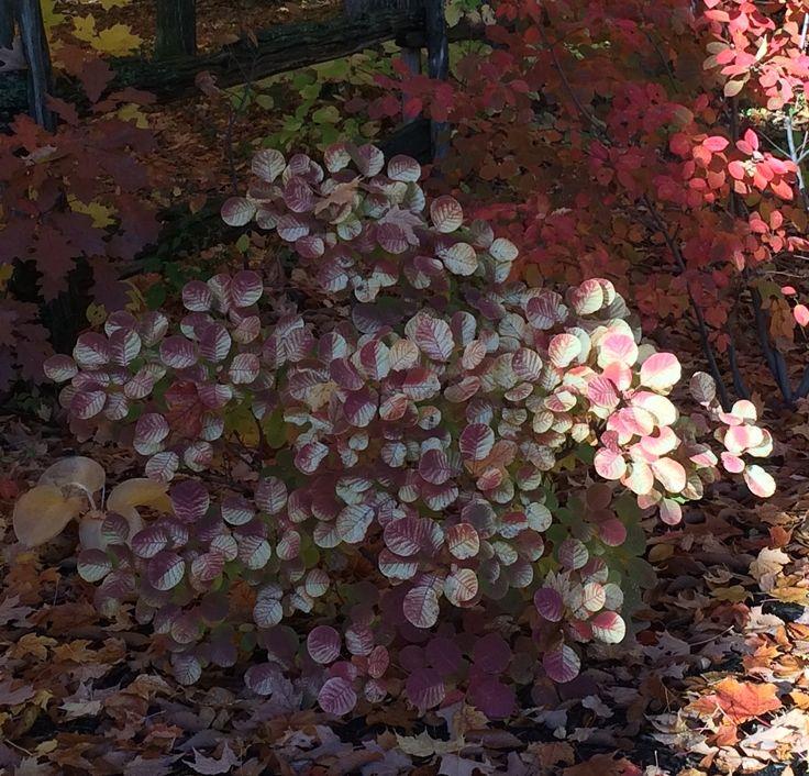 Arbre à perruque se distingue par ses petites feuilles arrondies
