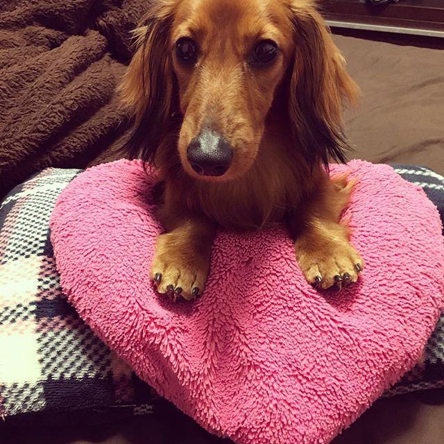 ❤️クッションで休憩🐶 #ミニチュアダックスフント #ダックス #愛犬 #おはようございます