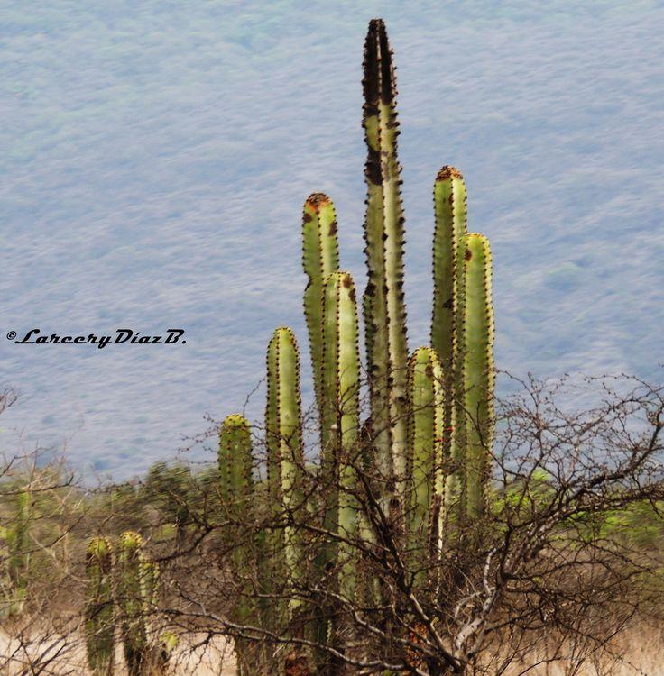 Captus San Pedro: esta planta puede ser muy importante para algunas tareas mágicas y esotéricas. Los cactus además tienen propiedades para protección.