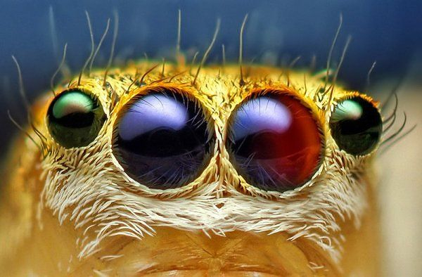 Look into my eyes female_jumping_spider_eye_close_up
