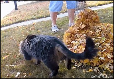 CAT GIF • Funny Cat playing and jumping in leaves. Autumnal Hide and seek #FunnyCatGifs #CatGatos