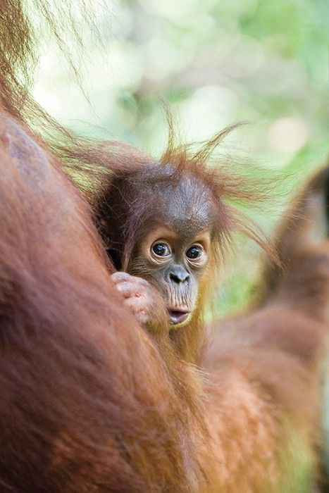 This 9-month-old Sumatran orangutan is one of only about 7,000 left, their homes continually destroyed by deforestation. - by Suzi Eszterhas