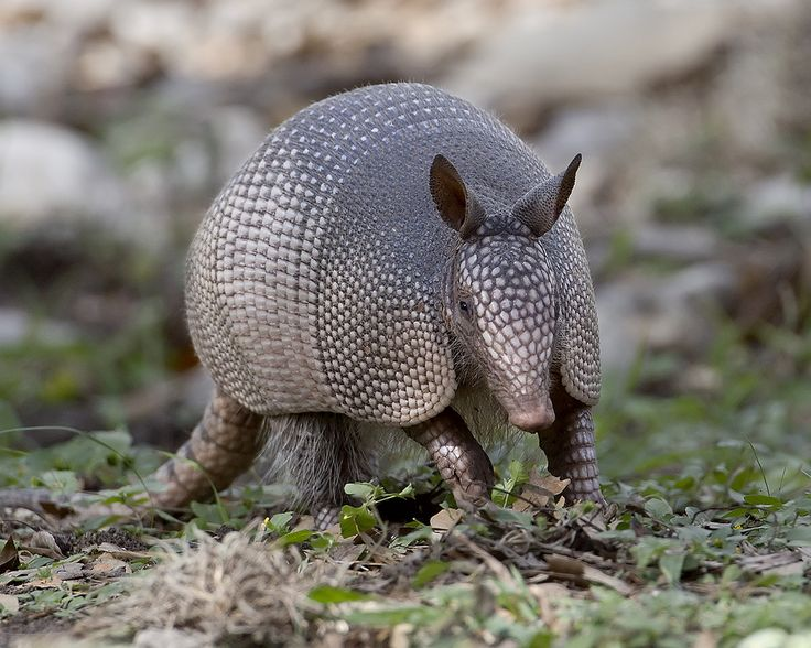 https://flic.kr/p/aGUL9i | Nine-banded Armadillo | So named because of the nine bands between the shoulder and rump carapaces.  Interesting fact about armadillos:  they cannot swim very well so when crossing streams, either walk under water along the bottom, or ingest air to increase their buoyancy and float across.  Dasypus novemcinctus.  Garner State Park, Texas