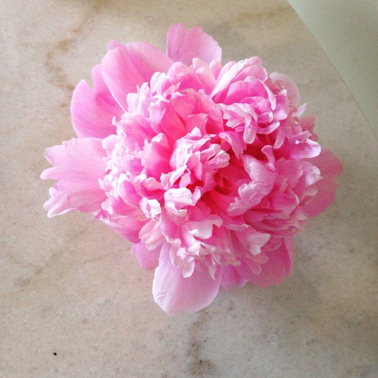 Peony. Gorgeous!  #peony #peonies #twigflowers #twigweddings #ontariogrown #toronto #shoplocal #shopsmallbusiness #the6ix #flowers #spring