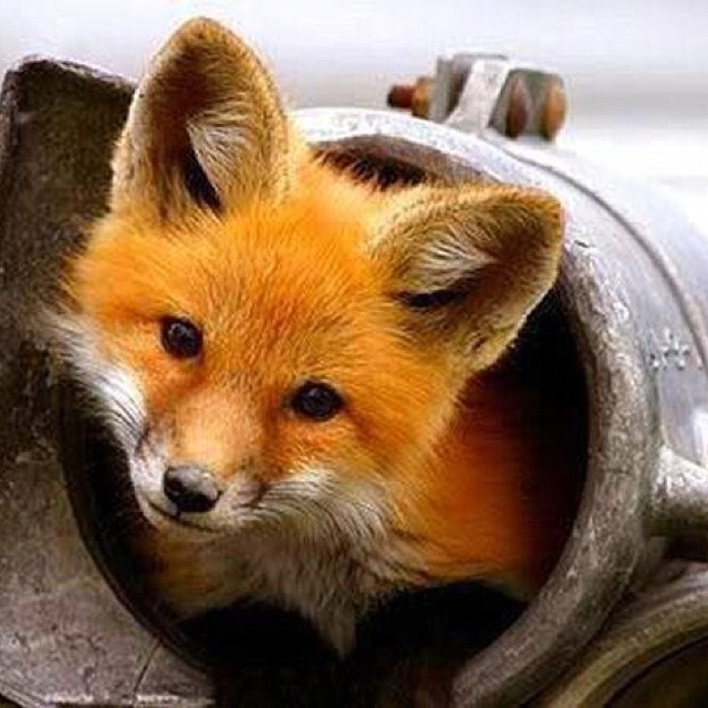 Sweet fox | Fox | Pinterest | Animals, Cute animals and ...