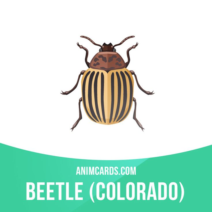 Colorado beetles are a serious pest of potatoes. They may also cause significant…