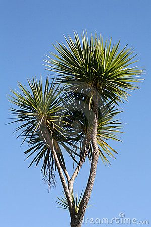 cabbage tree, New Zealand These things always make me think of Dr suess