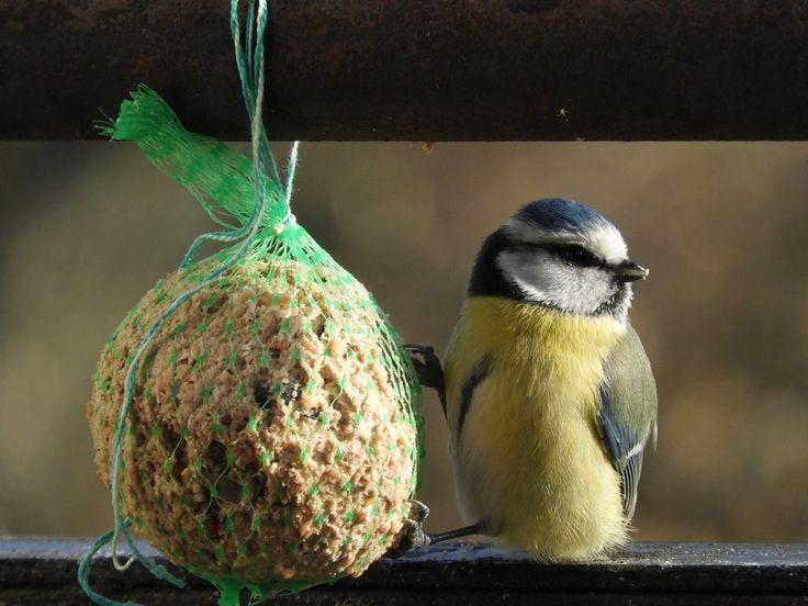Ez a madárka megadta a módját – Bámulatos fotók egy reggeliző kék cinegéről | Sokszínű vidék