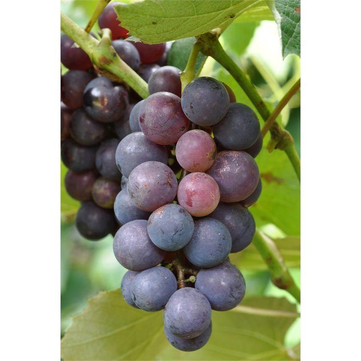 Plant Little Fruity Grap Albany 12cm