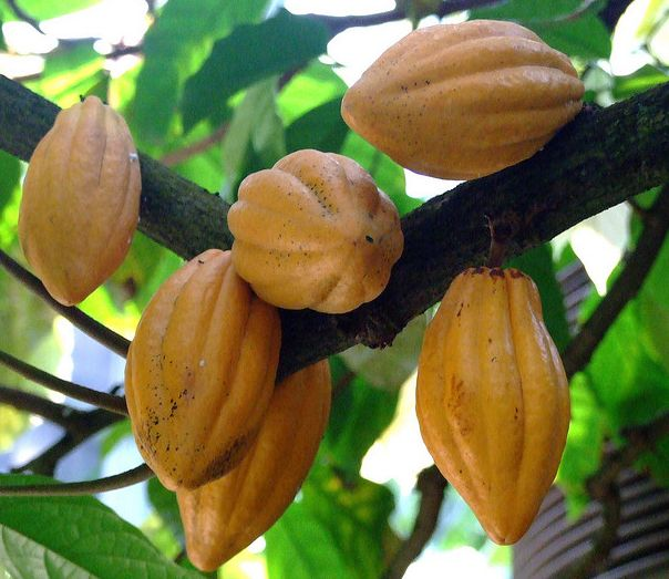 Cocoa bean, seed of Theobroma cacao (The Fruit of Gods)
