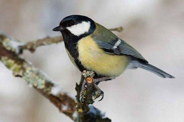 kleine vogelkunde  heimische wintervögel erkennen