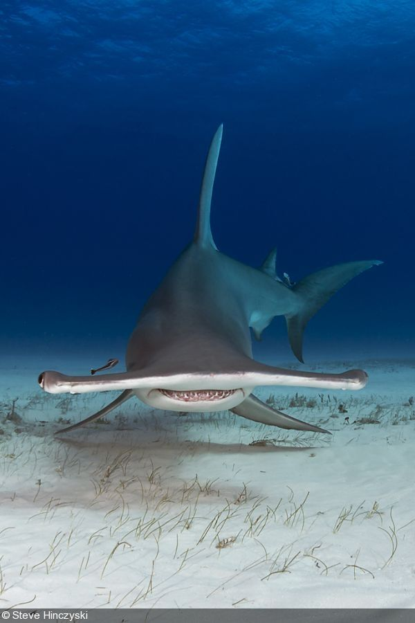 The Great Hammerhead Shark. If it didn't already exist, Dr. Seuss would have had to invent it.