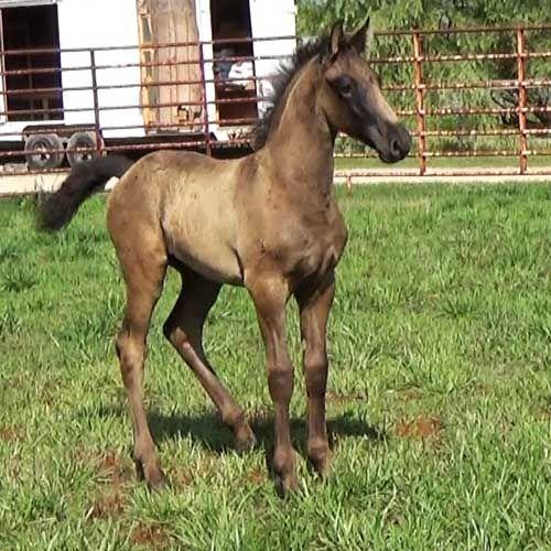 Friesian Cross Horses For Sale, Gypsy Drum Horses For Sale, Gypsy Cobs For Sale, Friesian Sport Horses For Sale, Georgian Grande Horses For Sale, Friesian Gypsy Horses