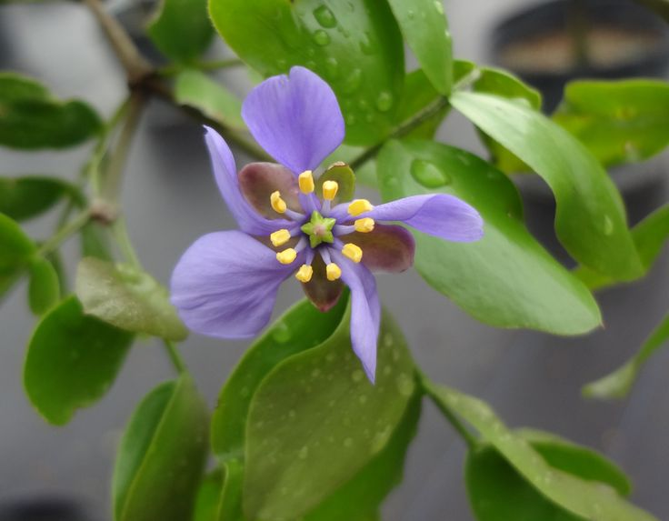 The tiny bloom on a Lignum Vitae, or Guaicum sanctum... a Florida native beauty