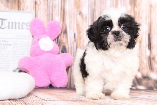 Shih Tzu Puppy For Sale In Bel Air Md Adn 71383 On Puppyfinder