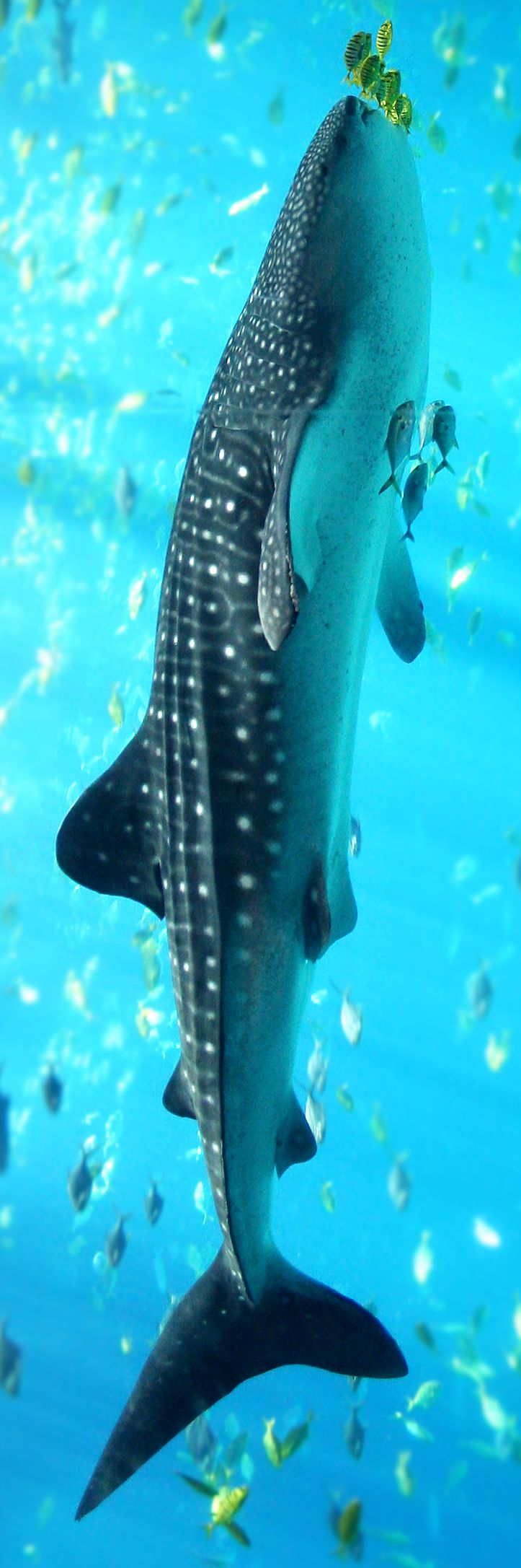 The world's largest fish can be seen in many places. In Belize's Gladden Spit, however, you are guaranteed to see them!