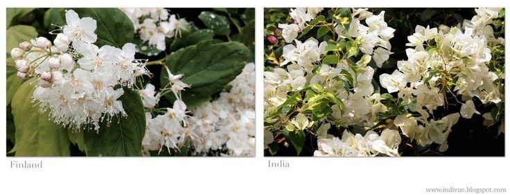 White flowers - Valkoisia kukkia
