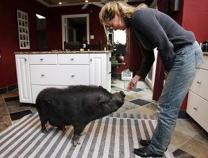 Training a pot belly pig is simple. Contrary to popular belief, these animals are extremely intelligent and have a strong will to learn. Because pot belly pigs are drawn to food, they will do whate…