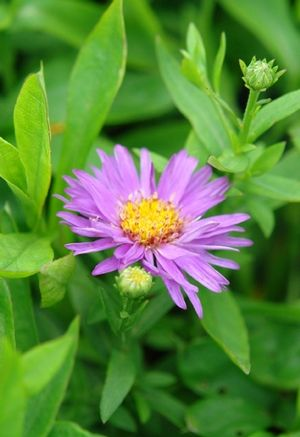1000 Images About Flowers Asters On Pinterest Sun