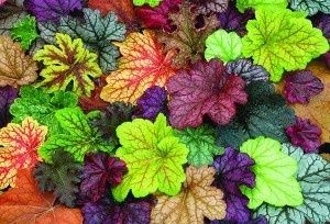 "Heucheras, the ""new hostas"" for shady spots."