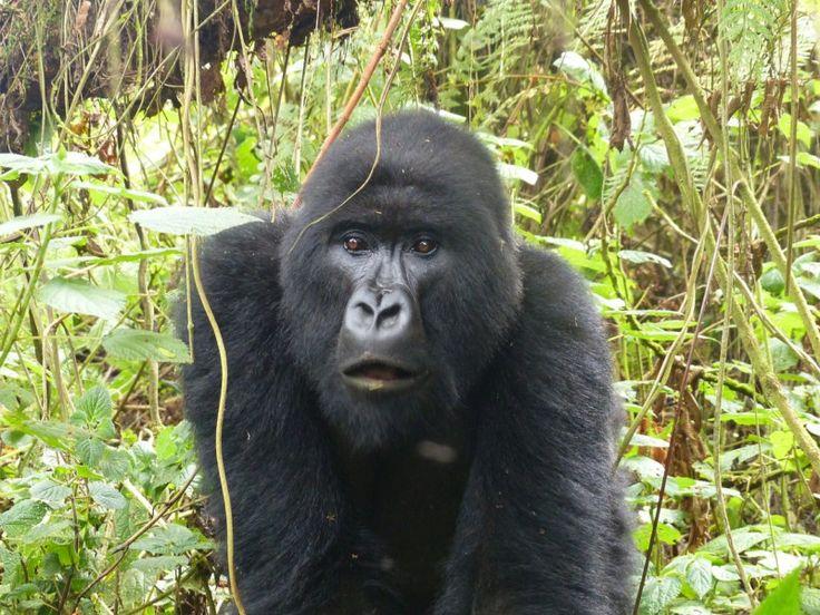Пять лучших направлений путешествий для любителей животных   Те, кто любят животных, предпочитают отправляться в места, где могут открыть новые виды и спасти исчезающих существ, насладиться их видом в дикой природе. Если вы один из этих энтузиастов, предлагаем ознакомиться со списком мест, которые идеально подойдут вам. Путешествия для любителей животных очень разнообразны и увлекательны.  Руанда, Африка. Перемещение горилл в этой стране и привлекает в Руанду любителей животных. Тур в…