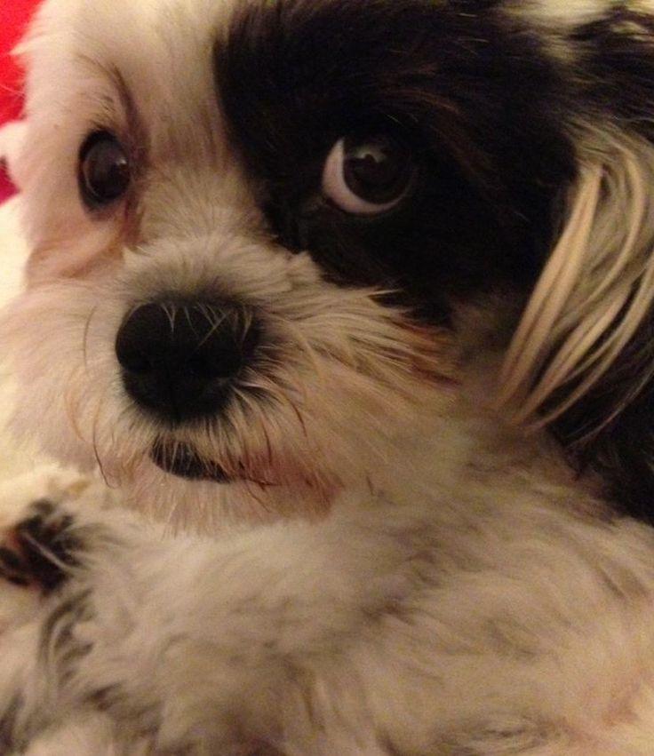 """Das ist Mimi, unsere Familienhündin. (havaneser-mix). Eine Fotogalerie zeigt Mimis Fähigkeiten im neuen Blogpost für Heimspiel Bonn (Klick aufs Bild): """"7 geheime Superkräfte, die jeder Familienhund hat – aber kaum einer kennt..."""""""