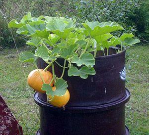 Выращивание тыквы: полив и уход