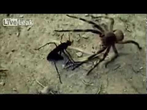 Brazilian wanderer spider vs tarantula hawk wasp scary nature