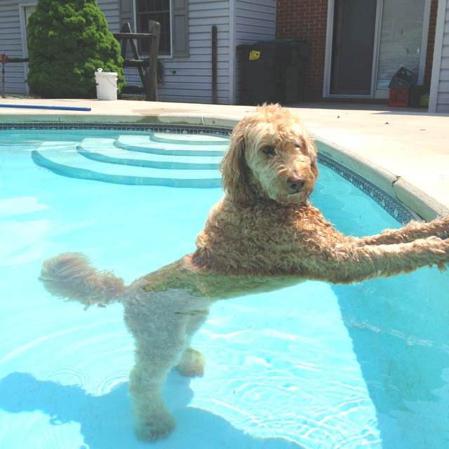 Golden doodle posing in the pool. What a cutie :) #dog #goldendoodle #pool