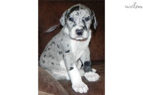 Merle male Great Dane Puppies   ... Great Dane puppy for sale for $900. GORGEOUS MERLE MANTLE MALE GREAT
