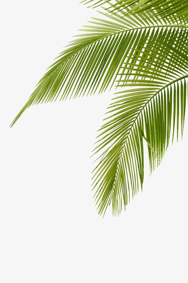 Leaves Clipart Green Png And Vector With Transparent Background For Free Download Coconut Leaves Coconut Tree Drawing Palm Trees Painting