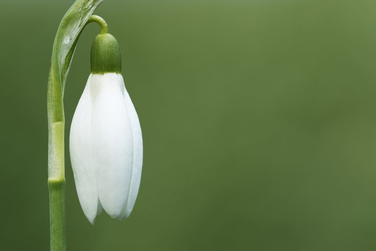 Early snowdrop | Spring is coming and the nature wakes up.