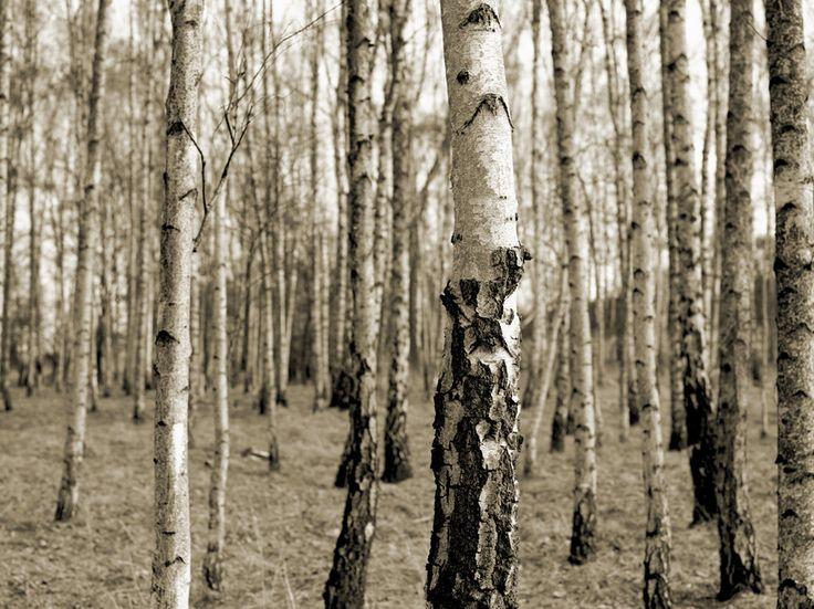 Die besten 25+ Fototapete birkenwald Ideen auf Pinterest - fototapete 250x250