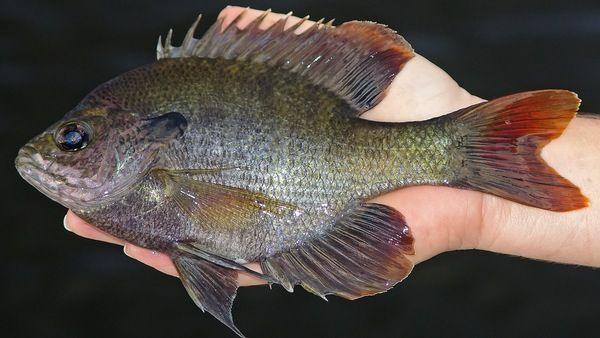 109 best images about sunfish on pinterest fishing bait for Bluegill fishing lures