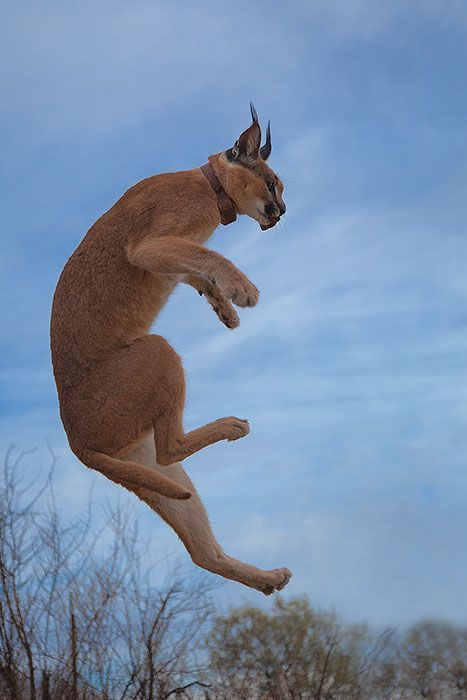 Ninja Caracal In The Air Funny Cats Caracal Cat