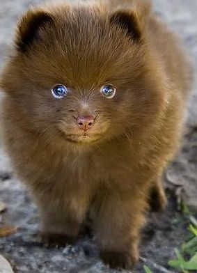 Teacup Pomeranian - This dog, I would love to have. Im not a dog person, but it looks almost like a cat, so it would be okay =)