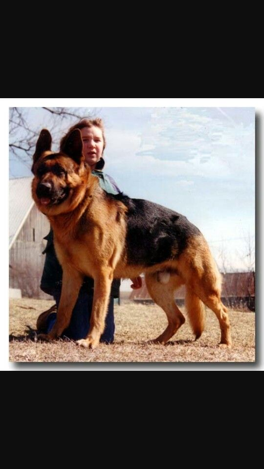 how to start breeding german shepherds