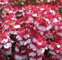 Diy 30 Seeds Home Garden Plant Mixed PRINCE NEMESIA Strumosa Flower Seeds Free Shipping