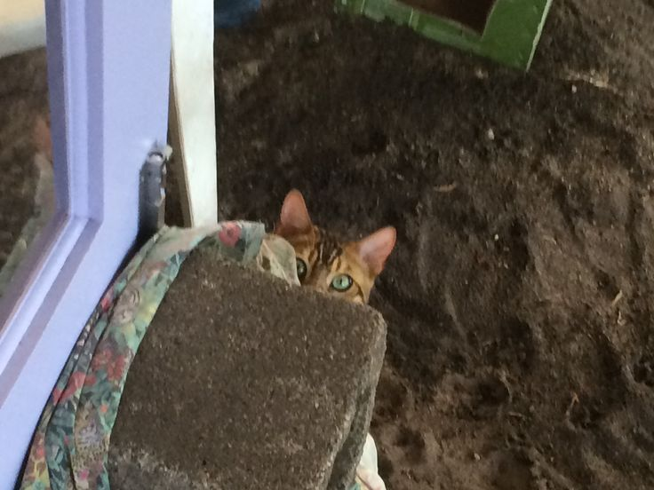 Bengal cat Zeus loves to play hide & seek. He will look for things to hide behind to spring out and tackle you as you walk past. He is gentle ....no claws are used