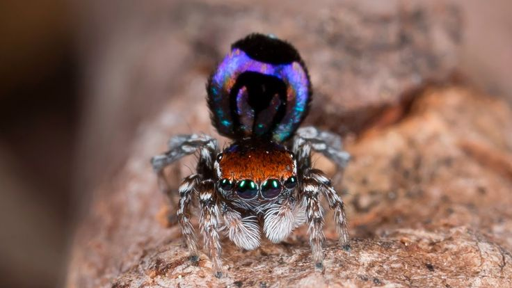 Peacock jumping spiders - photo#42