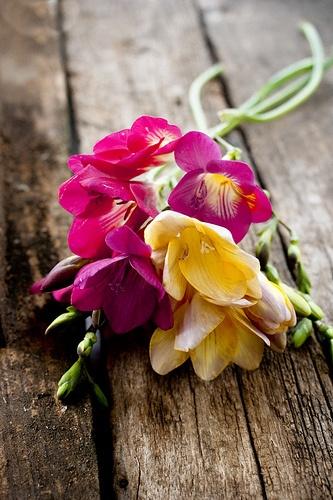 fresias, mis flores preferidas