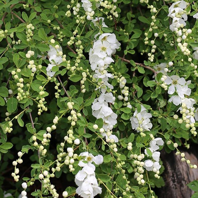 Helmipensas The Bride kukkii nyt ❤ Oksat ovat sirot ja kauniisti kaarevat. Valkoiset nuput ovat kuin pieniä helmiä ja pensas lähes peittyy vitivalkoisiin kukkiin. #flör#flör2017#helmipensas#exochordamacrantha #ihanathelmet #kukkajapuutarhaflör#kukkakauppa#piha#puutarha#turku#kissmyturku#love_turku#flowerstagram#flowerinspo#natureinspires#natureinspired